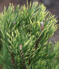 Pinus mugo Yellow Point Dwarf Golden Mugo Pine