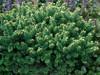 Abies balsamea ' Piccolo ' Miniature Balsam Fir