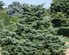 Picea bicolor Howell's Dwarf Alcock's Spruce