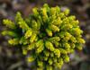 Tom Thumb Miniature Spruce Conifer