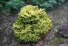 Tom Thumb Miniature Oriental Spruce