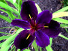 Iris x louisiana Black Gamecock Purple Flower