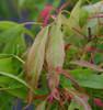 Acer buergerianum Mino yatsubusa