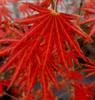 Acer shirasawanum Mr Sun Shirasawa Maple Tree
