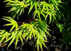 Mr Sun Shirasawa Maple Tree