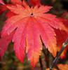 Orange Fan Fullmoon Maple Tree