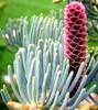 Abies concolor Candicans White Fir