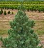 Limber Pine Vanderwolf's Pyramid