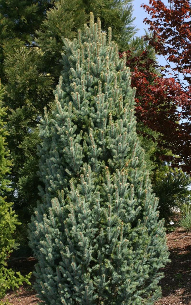 Picea Pungens Fastigiata Narrow Colorado Blue Spruce Kigi Nursery