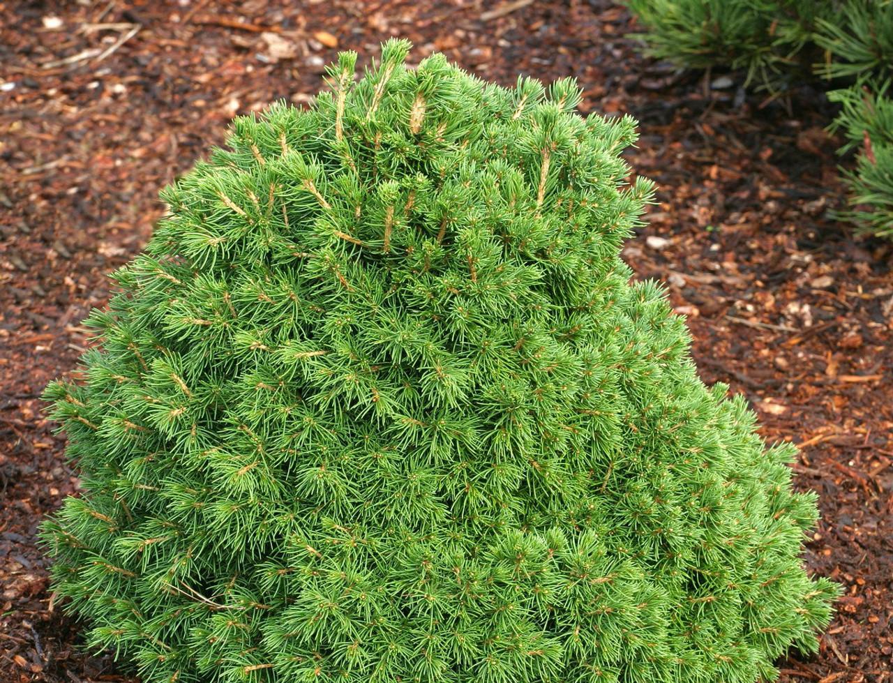 Picea Abies Tompa Dwarf Norway Spruce Kigi Nursery
