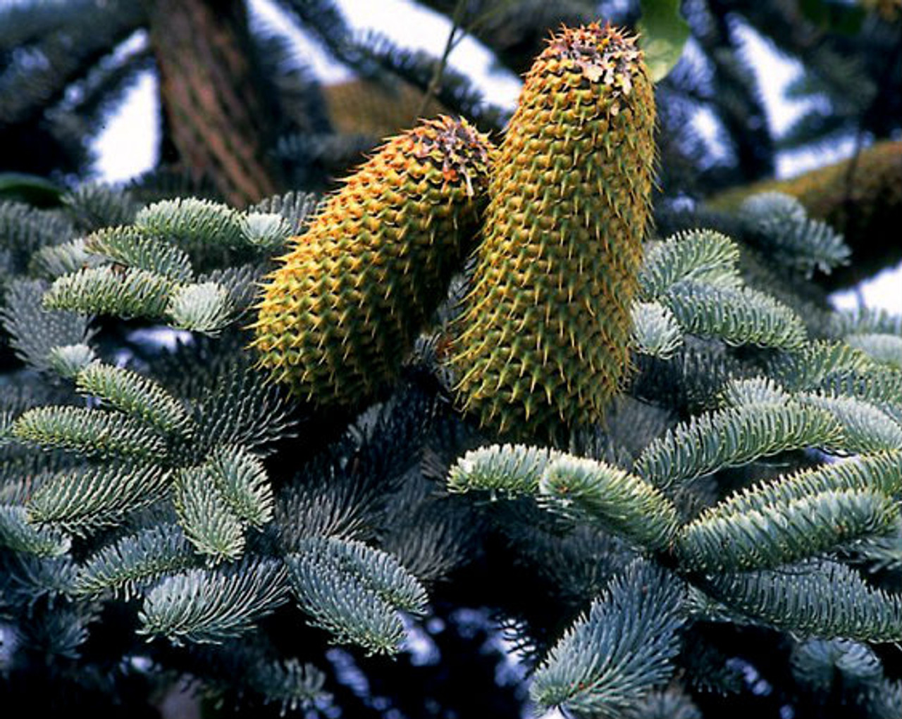 Abies Procera Glauca Blue Noble Fir Kigi Nursery