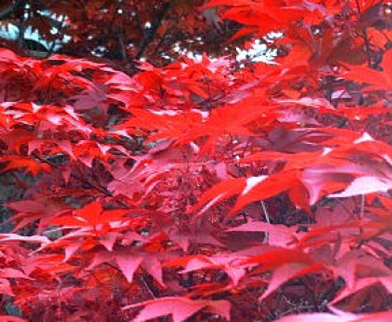 Acer Palmatum Yubae Purple Red Japanese Maple Tree Kigi Nursery