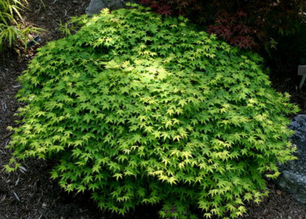 Acer Palmatum Yama Hime Dwarf Japanese Maple Tree Kigi Nursery