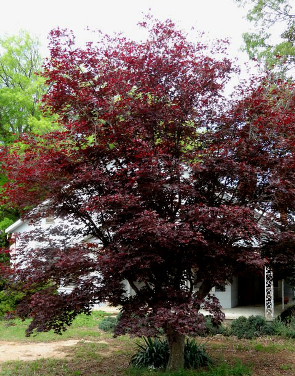 Acer Palmatum Hefner S Red Japanese Maple Tree Kigi Nursery