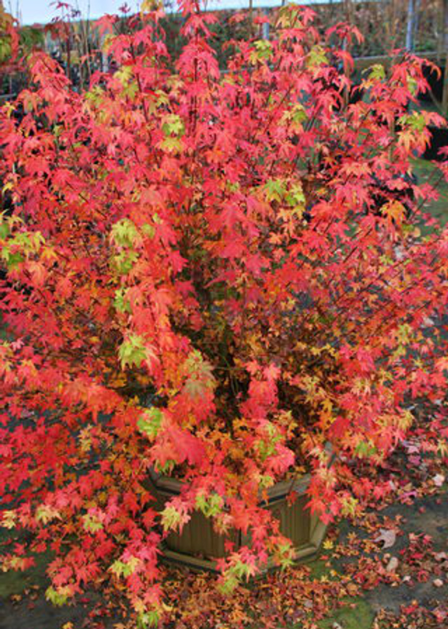 Acer Palmatum Koto Maru Dwarf Japanese Maple Kigi Nursery