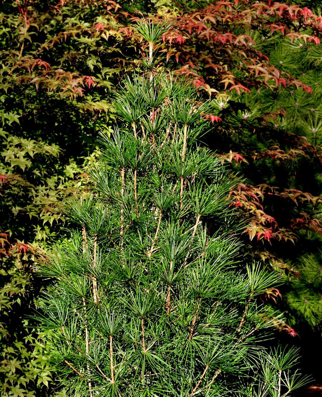 Sciadopitys Verticillata Winter Green Japanese Umbrella Pine