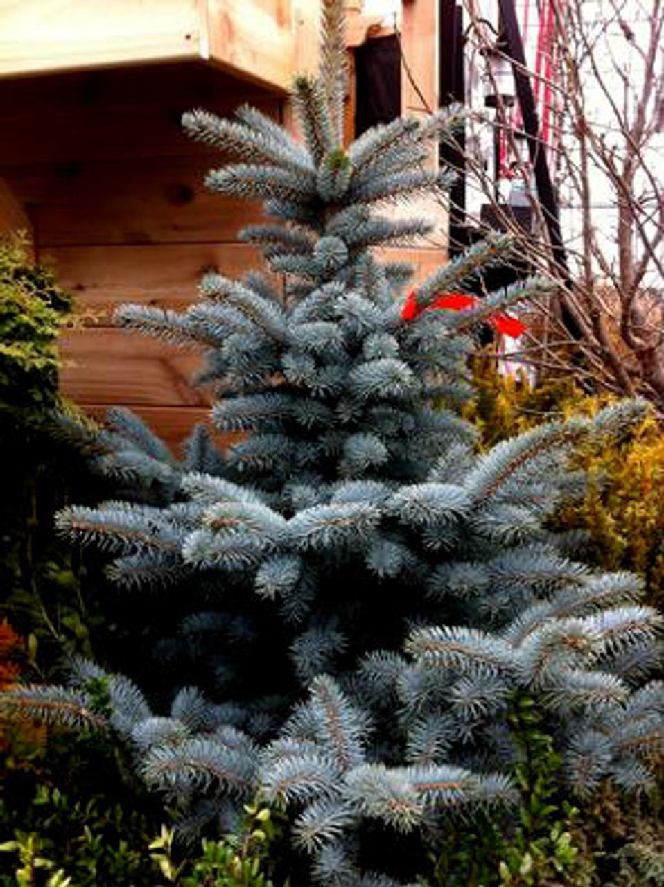 Picea Pungens Avatar Colorado Blue Spruce Kigi Nursery