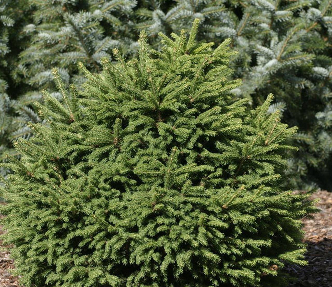Picea Abies Mucronata Dwarf Norway Spruce Kigi Nursery