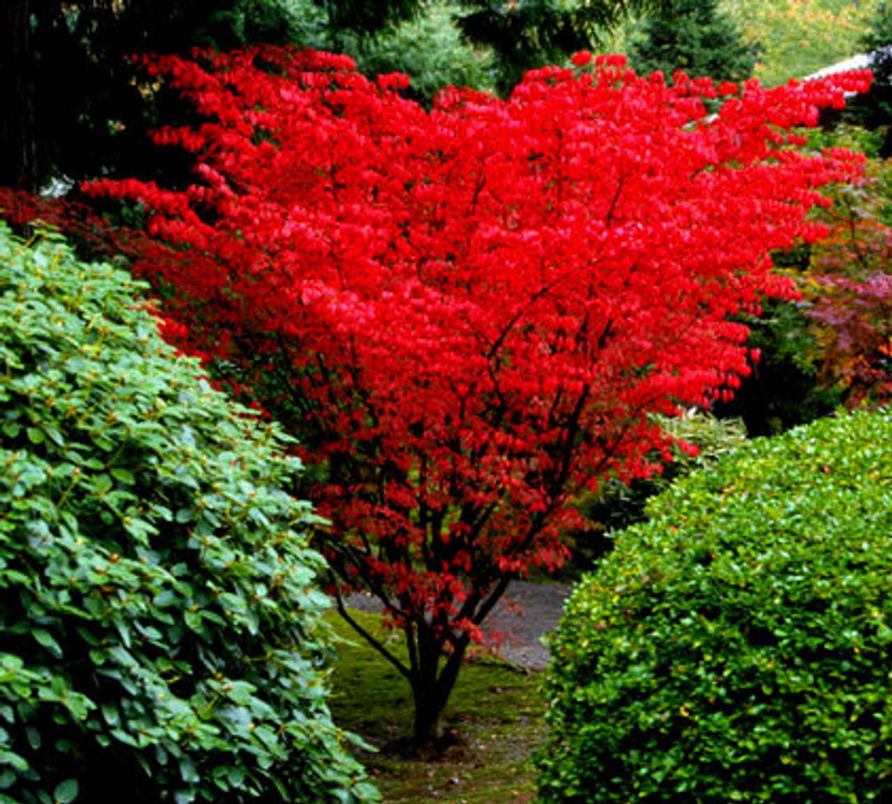 Help Me Save my Japanese Maple Please! |Japanese Maple Red Beetle