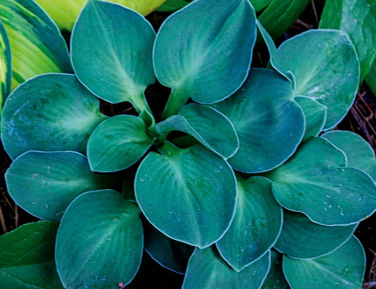 Hosta Blue Mouse Ears Dwarf Blue Gray Kigi Nursery