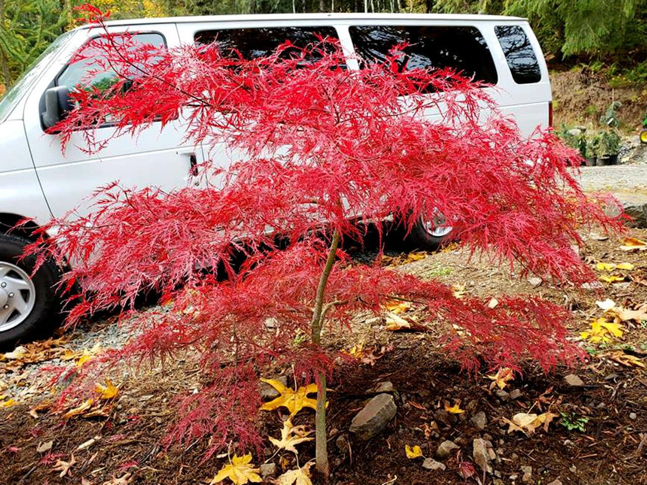 Acer Palmatum Dissectum Watnong Dwarf Cutleaf Japanese Maple