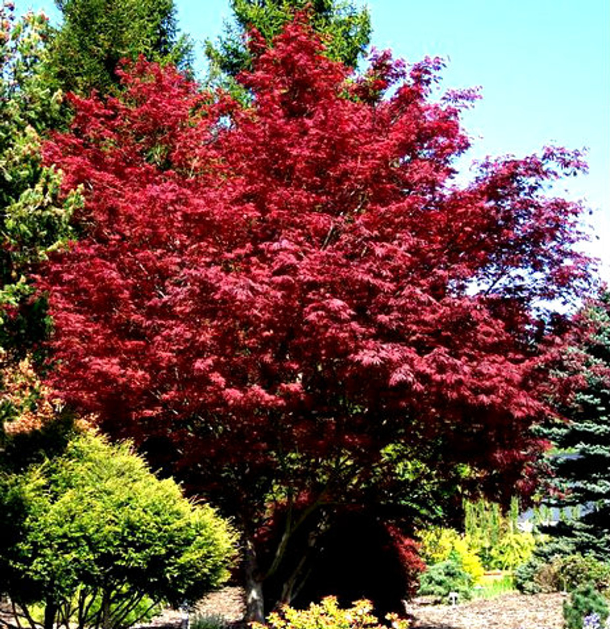 Acer Palmatum Sherwood Flame Japanese Maple Tree Kigi Nursery
