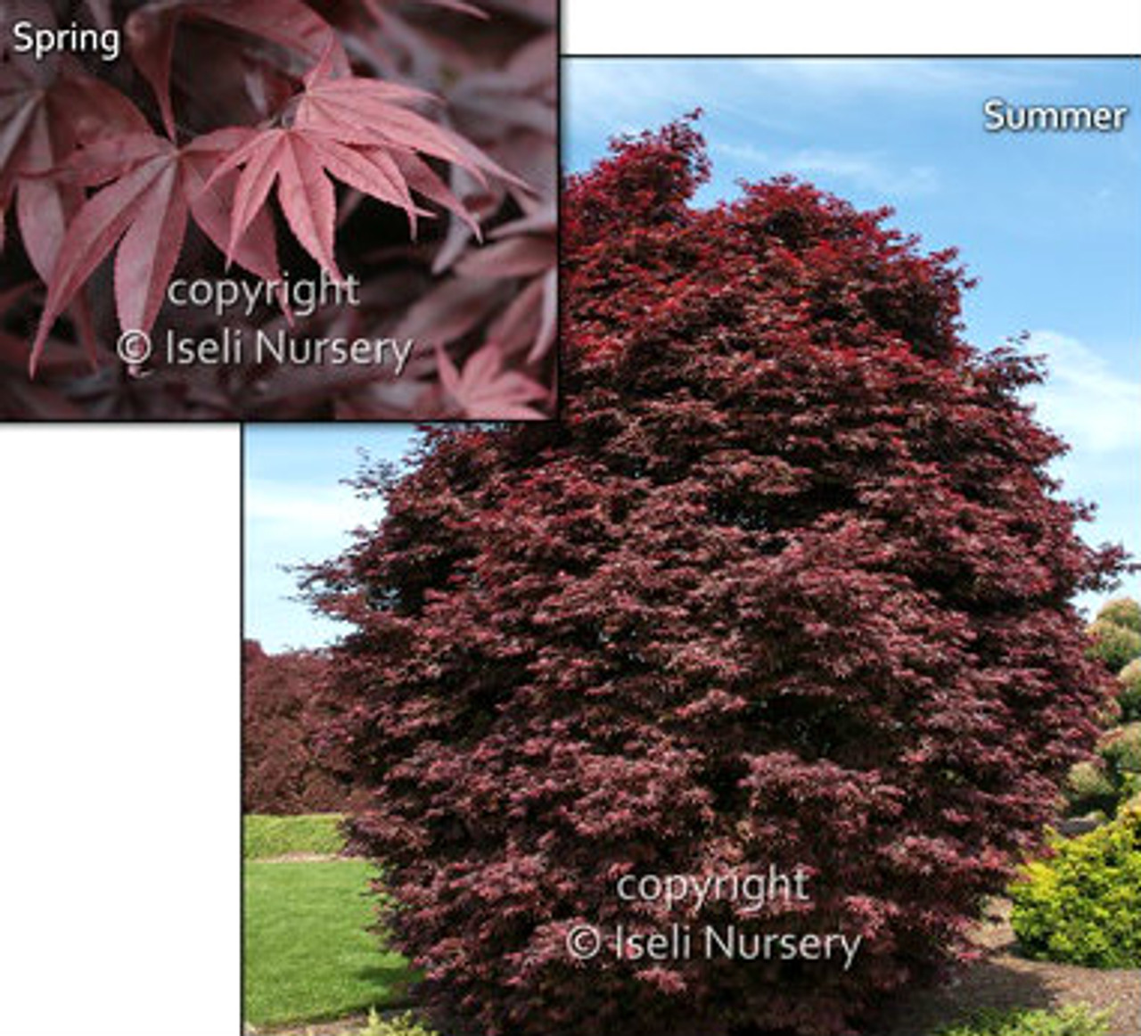 Acer Palmatum Twomblys Red Sentinel Japanese Maple Kigi Nursery