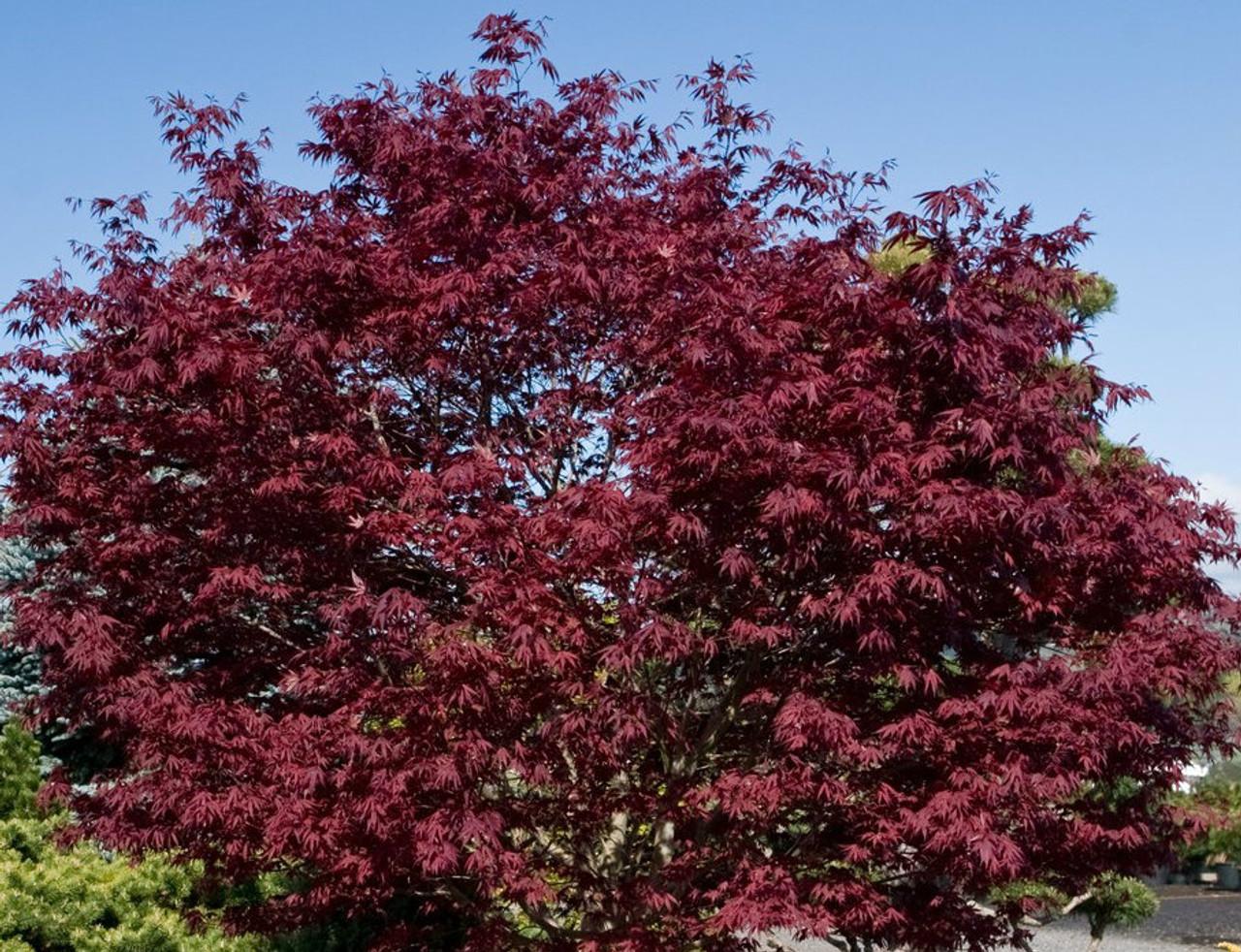 Acer Palmatum Fireglow Japanese Maple Tree Kigi Nursery