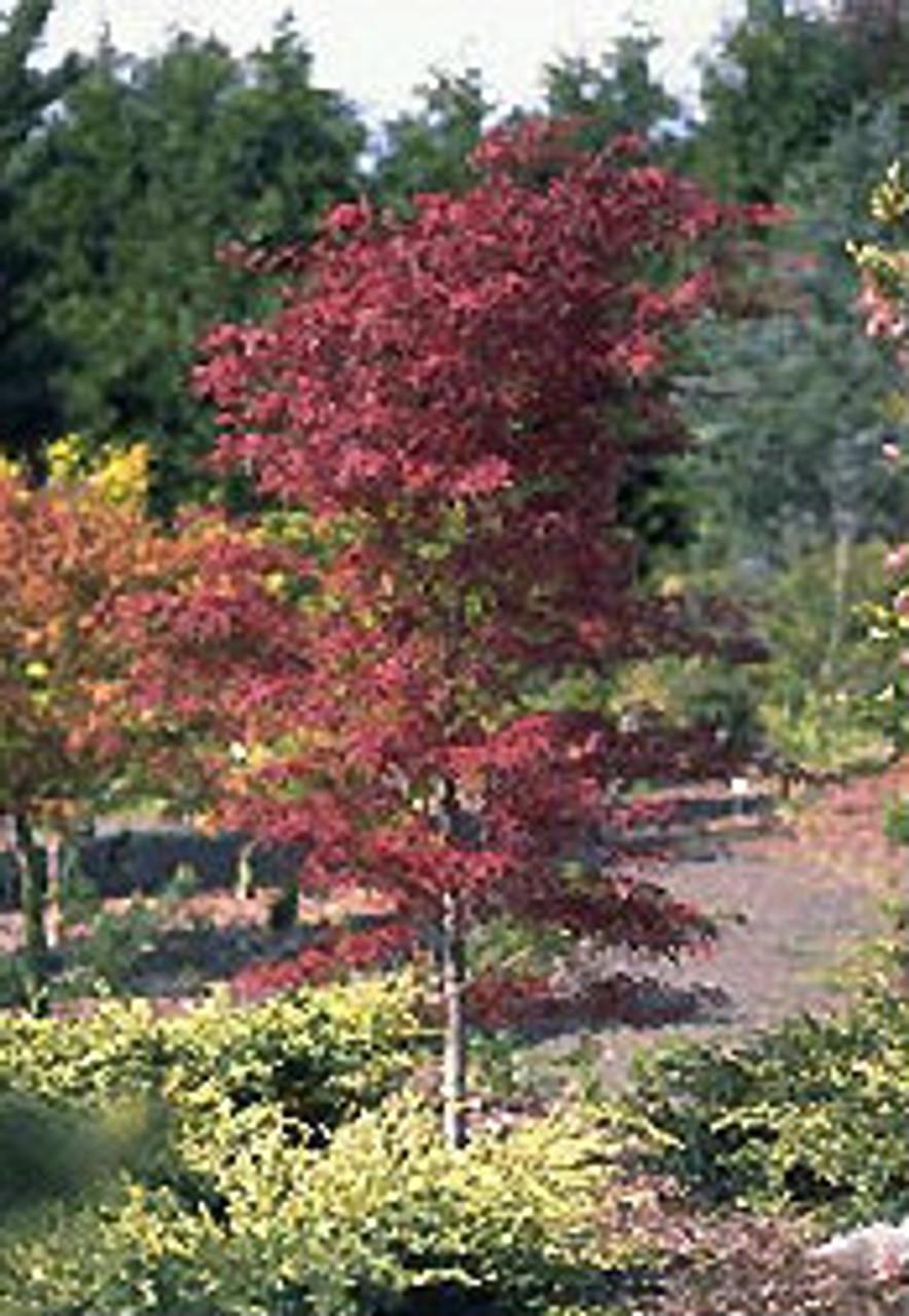 Acer Palmatum Beni Otake Japanese Maple Tree Kigi Nursery