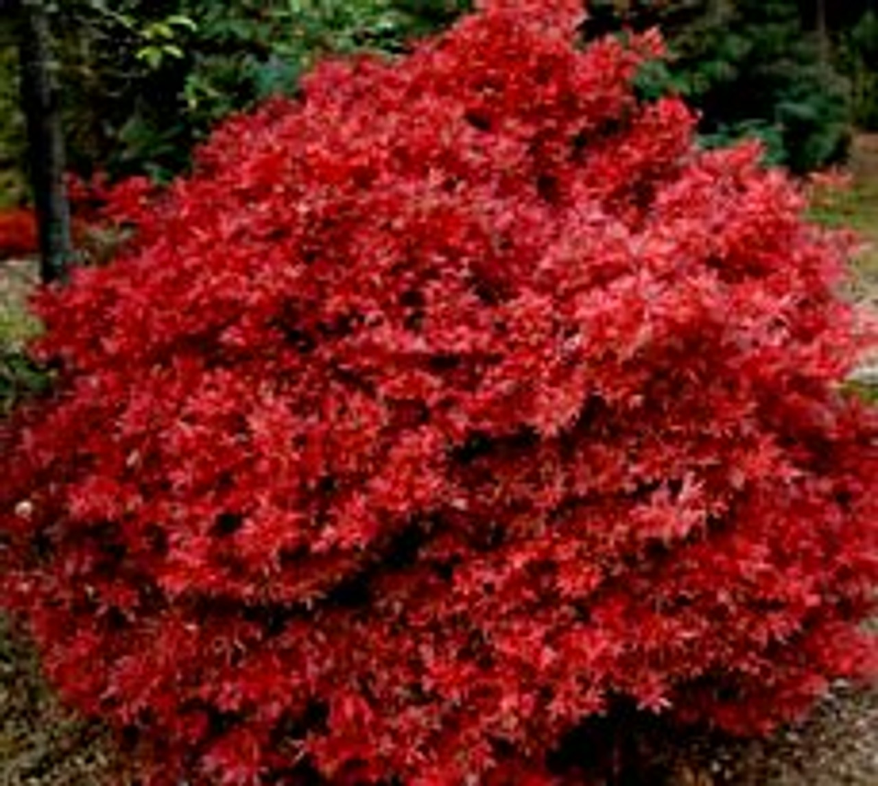 Acer Palmatum Shaina Dwarf Red Japanese Maple Tree Kigi Nursery