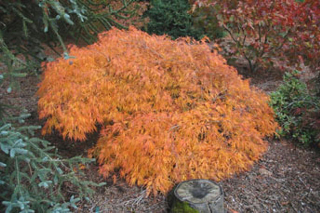Acer palmatum dissectum ' Viridis ' Cutleaf Japanese Maple