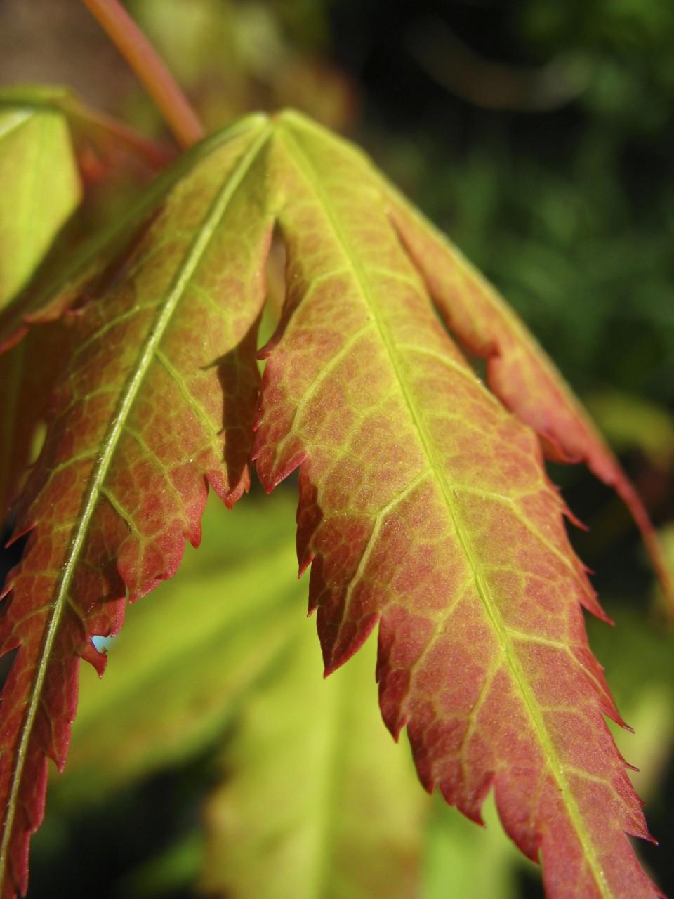 Acer Palmatum Katsura Japanese Maple Tree Kigi Nursery