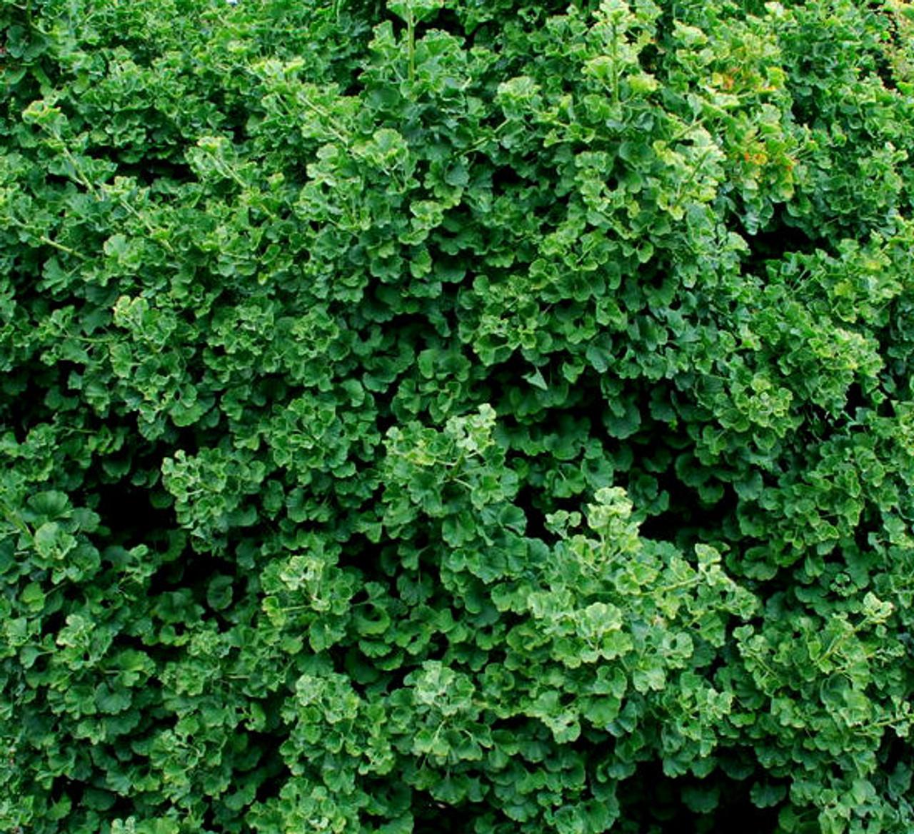 Ginkgo Biloba Spring Grove Dwarf Maidenhair Tree Kigi Nursery