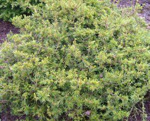 Cold Hardy Cedar Of Lebanon Year Live Plant Cedrus libani Eugene 1