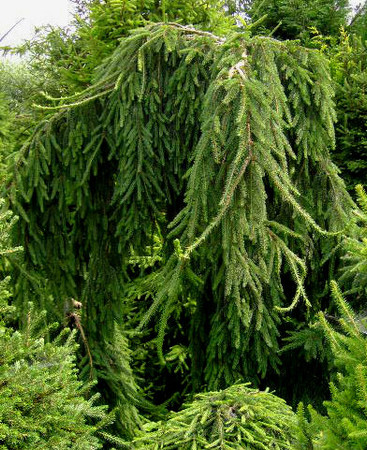 Picea abies ' Aarburg ' Weeping Norway Spruce