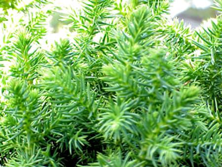 Cryptomeria japonica ' Koshyi ' Dwarf Japanese Cedar