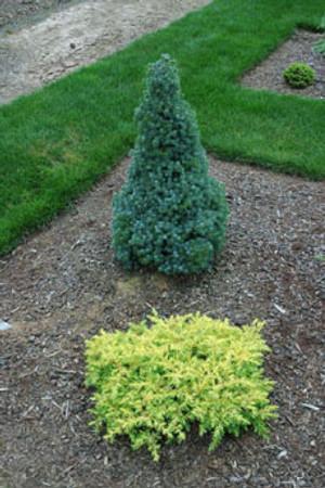 Juniperus conferta All Gold Dwarf Golden Japanese Shore Juniper
