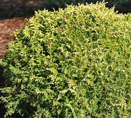 Chamaecyparis pisifera Cream Ball Dwarf Sawara Cypress