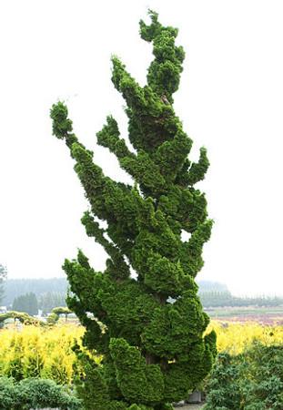 Dwarf Japanese Hinoki Cypress Spiralis