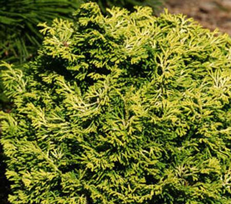 Butter Ball Hinoki Cypress