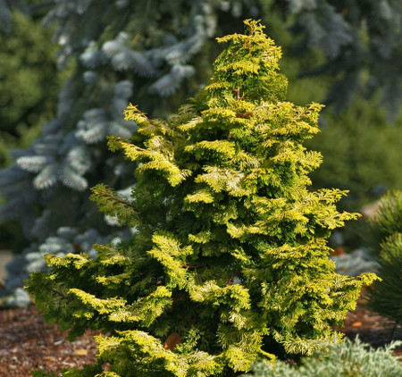 Variegated Hinoki Cypress