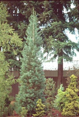 Blue Giant Redwood