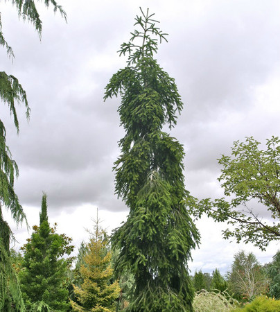 Weeping European Silver Fir