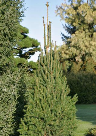 Narrow Norway Spruce Cupressina