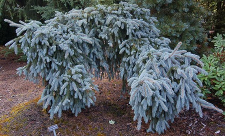 Picea pungens 'The Blues' Weeping Colorado Blue Spruce