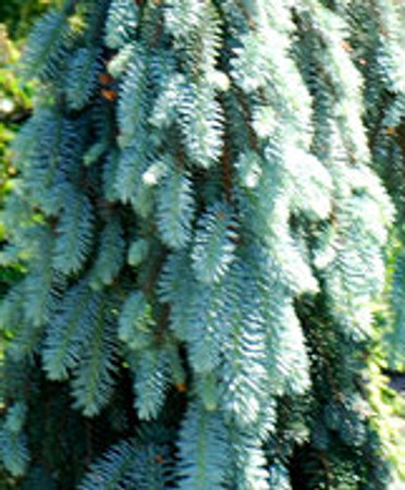 Picea pungens Blue Falls Weeping Colorado Blue Spruce