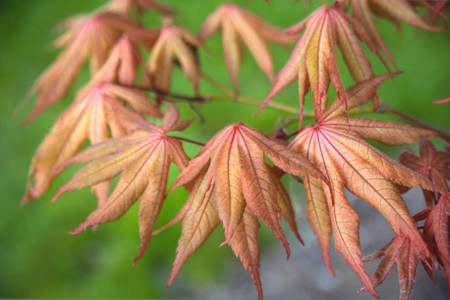Japanese Maple Amber Ghost in April