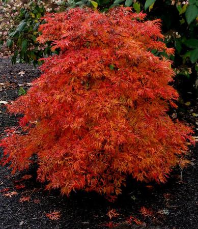 Acer japonicum ' Fairy Lights ' Fullmoon Maple
