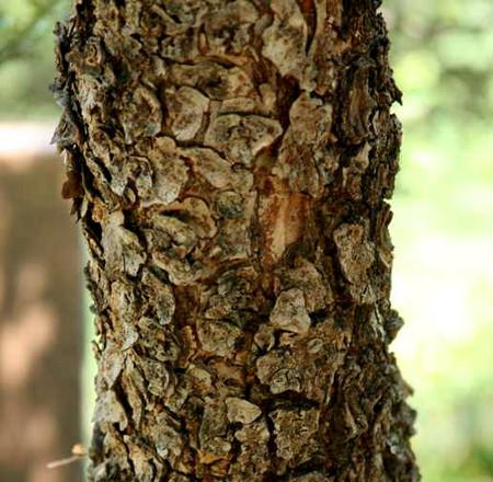 cork bark elm tree