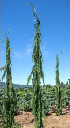 Chamaecyparis nootkatensis ' Strict Weeping ' Weeping Alaska Cedar